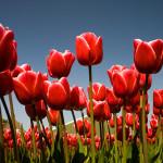 Navštivte Amsterdam a největší květinový park Keukenhof