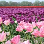 Navštivte zemi tulipánů